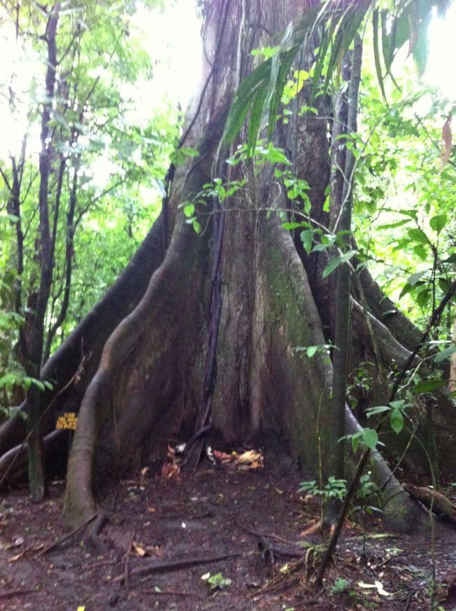 Árbol Ceiba en el Parque Nacional Volcán Arenal. Costa Rica